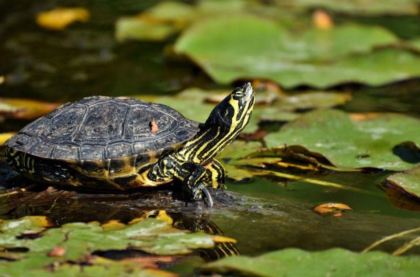 Salvan más de 15000 tortugas