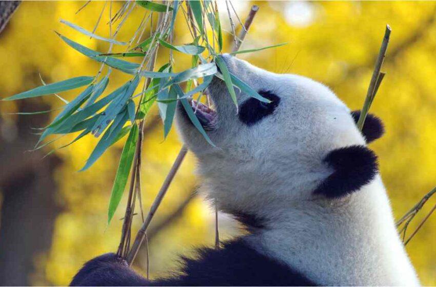 Panda gigante da a luz