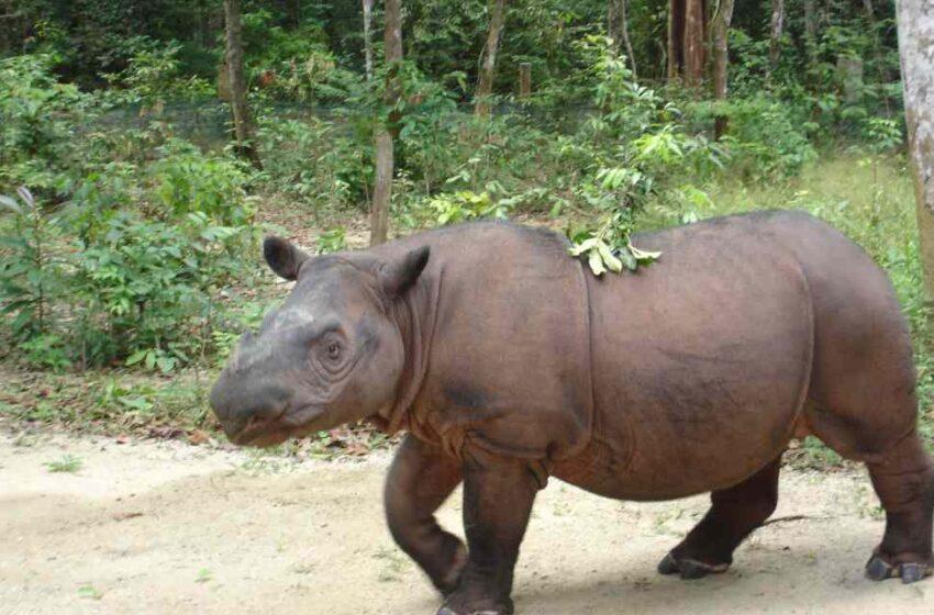 Clonar al rinoceronte de Sumatra