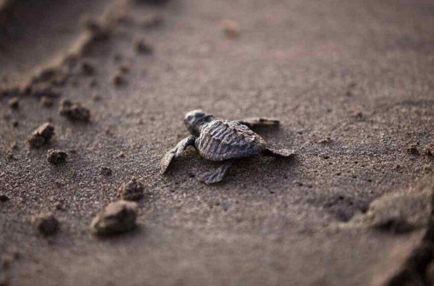 Costa Rica libera 70 mil tortugas