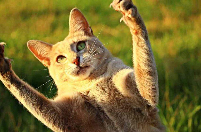 Arañazo de gato y su gravedad