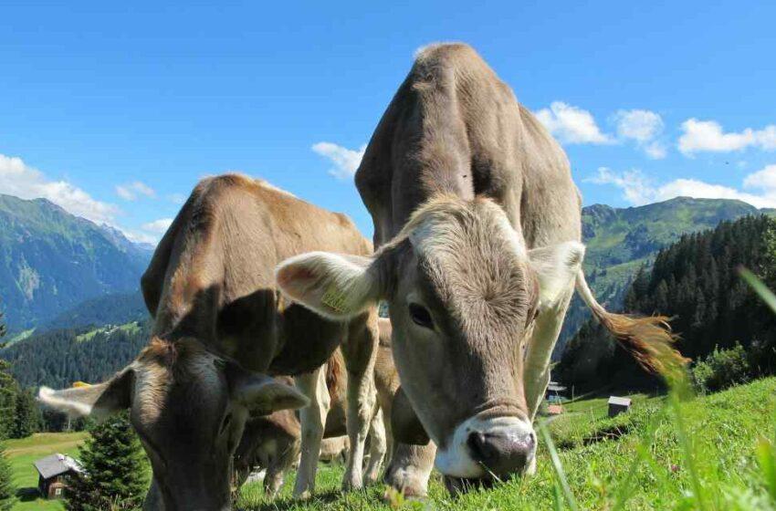 Vacas alimentadas con hierba