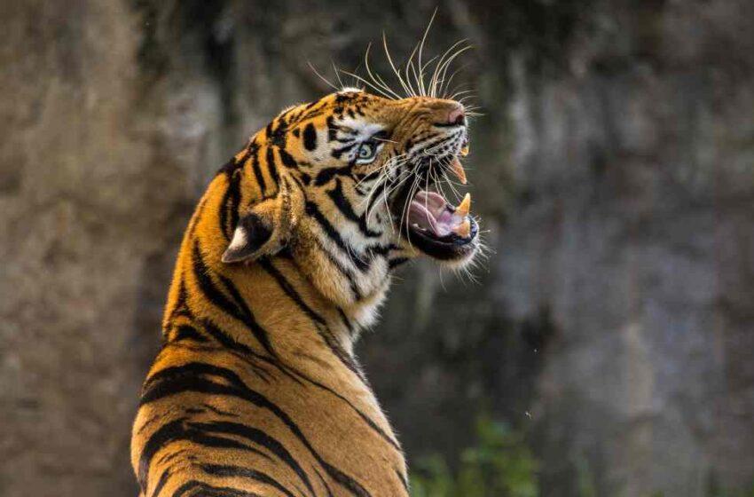 Cierran Tiger King por maltrato