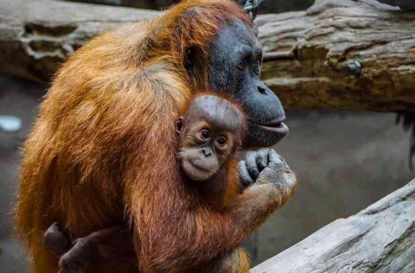 Día Mundial de los Orangutanes