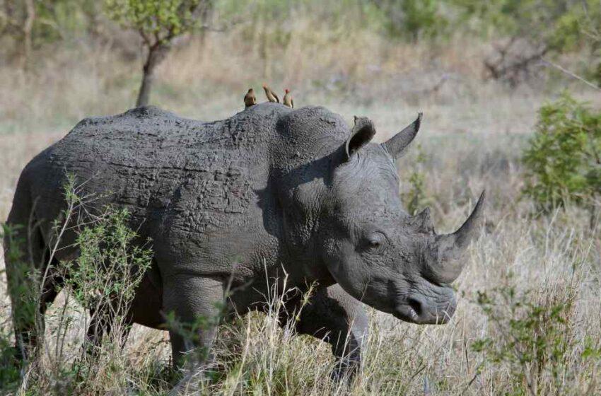 Curiosidades de los rinocerontes