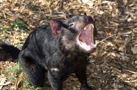 Demonios de Tasmania son liberados