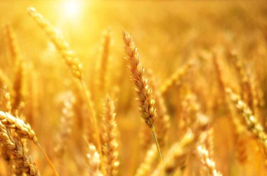 Cereales pueden estar contaminados