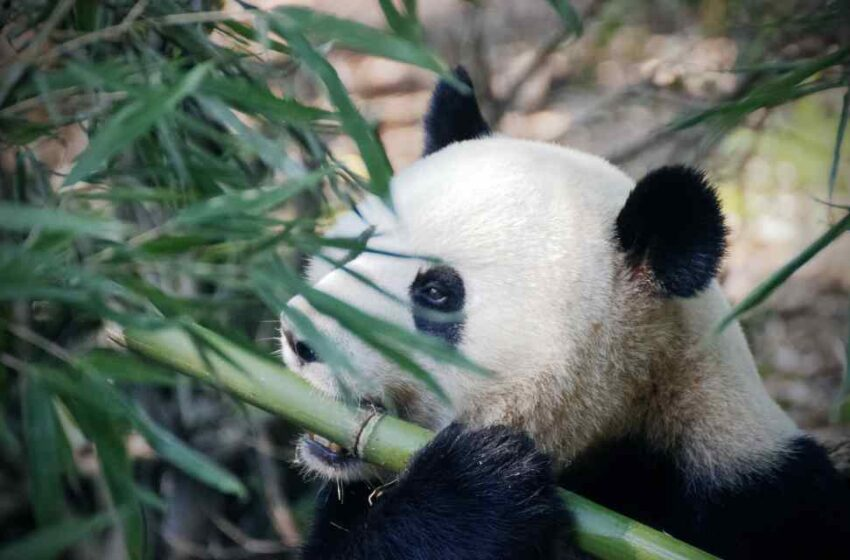 Panda más longeva muere