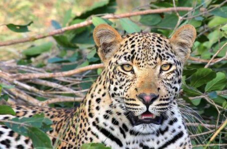 Leopardos en la India