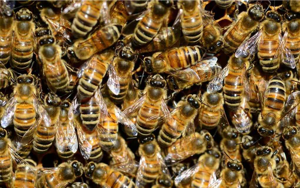 Operación Polinizador abejas